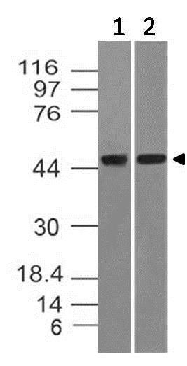 Western blot - Anti-Dnmt2 antibody [ABM1H70] (ab220175)