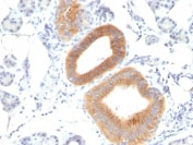 Immunohistochemistry (Formalin/PFA-fixed paraffin-embedded sections) - Anti-CD86 antibody [C86/1146] (ab220188)