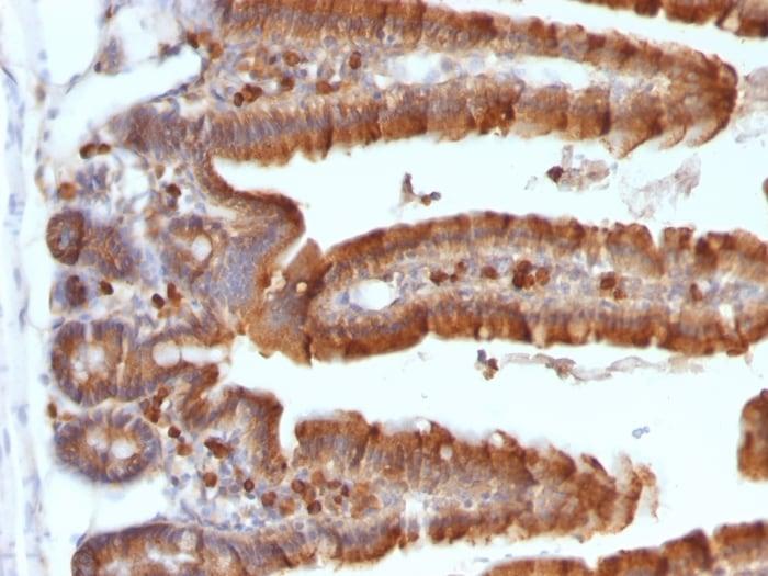 Immunohistochemistry (Formalin/PFA-fixed paraffin-embedded sections) - Anti-Ornithine Decarboxylase/ODC antibody [ODC1/487] (ab220205)