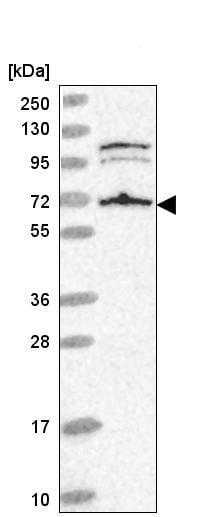 Western blot - Anti-A RAF antibody (ab220343)