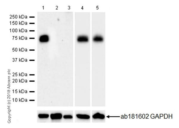 Western blot - Anti-NUMB antibody [EPR21988] (ab220362)