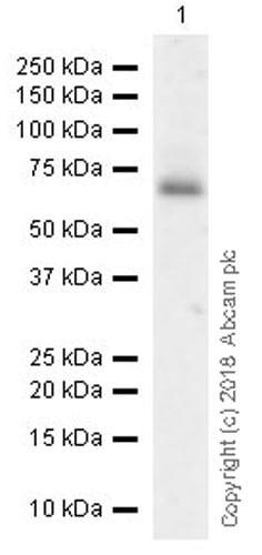 Western blot - Anti-PC1/3 antibody [EPR21908] (ab220363)