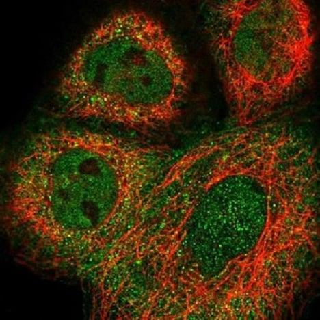 Immunocytochemistry/ Immunofluorescence - Anti-WBSCR16 antibody (ab220397)