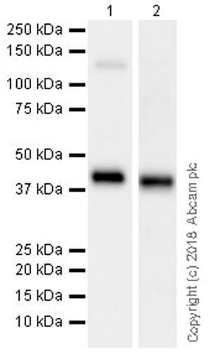 Western blot - Anti-Surfactant protein D/SP-D antibody [EPR21774-153] (ab220422)
