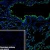 Immunohistochemistry (Frozen sections) - Anti-Surfactant protein D/SP-D antibody [EPR21774-153] (ab220422)