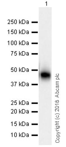 Western blot - Anti-Surfactant protein D/SP-D antibody [EPR21928-209] (ab220423)