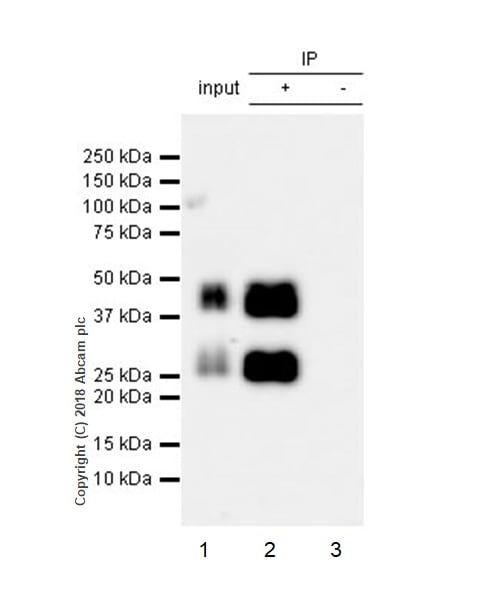 Immunoprecipitation - Anti-IGFBP3 antibody [EPR22152-22] (ab220429)