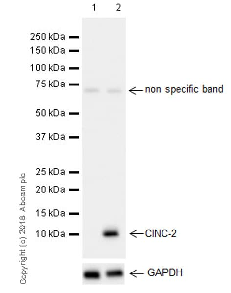 Western blot - Anti-GRO gamma antibody [EPR21759-11] (ab220431)