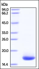 SDS-PAGE - Recombinant Human VAPB protein (His tag) (ab220445)