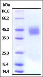 SDS-PAGE - Recombinant Human CD276 protein (His tag) (ab220448)