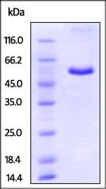 SDS-PAGE - Recombinant mouse CD40 protein (Fc Chimera) (ab220449)