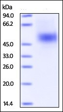 SDS-PAGE - Recombinant Human KIR2DL3 protein (His tag) (ab220454)