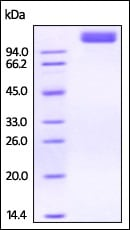 SDS-PAGE - Recombinant rhesus monkey VEGF Receptor 2 protein (Active) (ab220455)