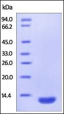SDS-PAGE - Recombinant Human beta 2 Microglobulin protein (ab220464)