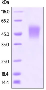 SDS-PAGE - Recombinant mouse CD80 protein (Active) (ab220537)