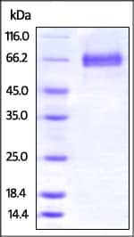 SDS-PAGE - Recombinant mouse 4-1BBL protein (Fc Chimera Active) (ab220539)