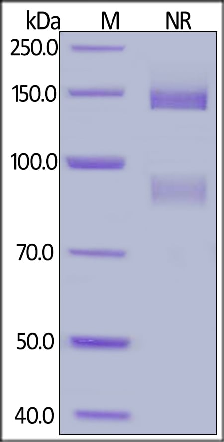 SDS-PAGE - Recombinant human Integrin alpha V + Integrin beta 5 protein (Active) (ab220547)