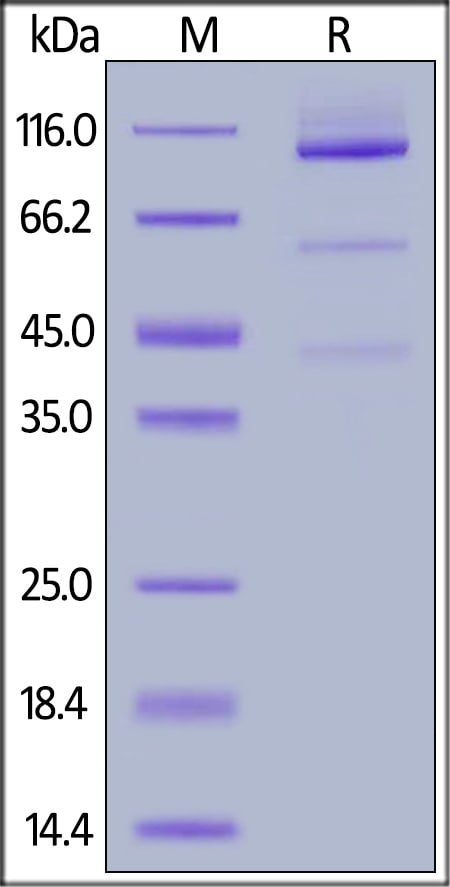 SDS-PAGE - Recombinant cynomolgus monkey Glypican 3 protein (Fc Chimera Active) (ab220548)