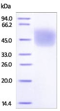 SDS-PAGE - Recombinant mouse CD64 protein (Active) (ab220550)