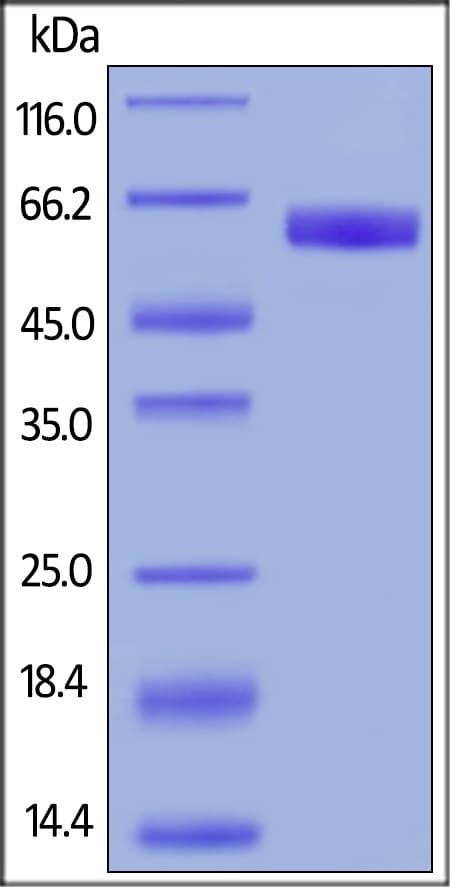 ELISA - Recombinant human CD47 protein (Fc Chimera Active) (ab220559)