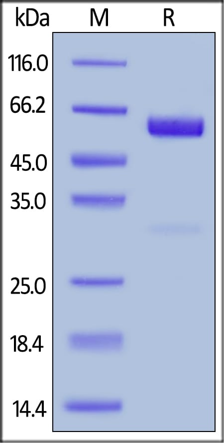 SDS-PAGE - Recombinant human CD47 protein (Fc Chimera Active) (ab220559)