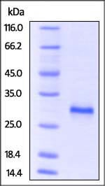 SDS-PAGE - Recombinant mouse CD40 protein (Active) (ab220566)