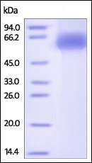 SDS-PAGE - Recombinant Human Kininogen 1 protein (His tag) (ab220569)