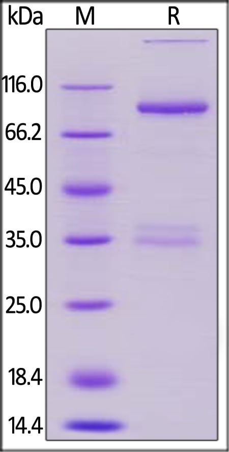 SDS-PAGE - Recombinant cynomolgus monkey LAG-3 protein (Fc Chimera Active) (ab220581)