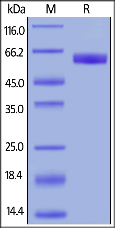 SDS-PAGE - Recombinant human CD47 protein (Fc Chimera Active) (ab220587)