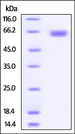 SDS-PAGE - Recombinant Human CD276 protein (Fc Chimera) (ab220591)