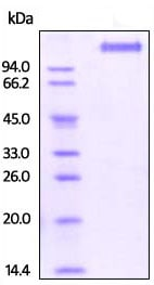 SDS-PAGE - Recombinant human VEGF Receptor 2 protein (Active) (ab220595)