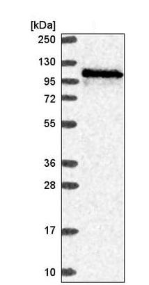Western blot - Anti-WDR59 antibody (ab220621)