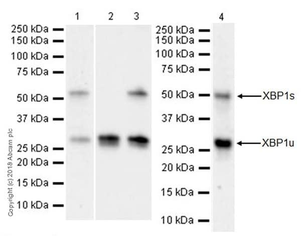 Western blot - Anti-XBP1 antibody [EPR22004] (ab220783)