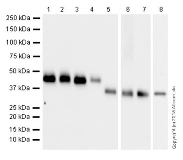 Anti-TATA binding protein TBP antibody [mAbcam 51841