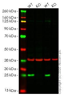 Western blot - Anti-Bak antibody [Y164] - BSA and Azide free (ab220790)