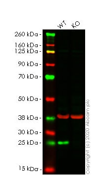 Western blot - Anti-Bak antibody [Y164] - BSA and Azide free (ab220790)