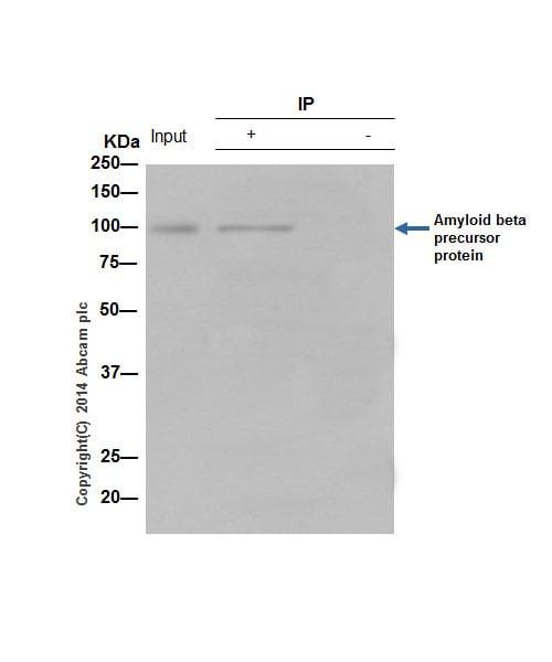 Immunoprecipitation - Anti-Amyloid Precursor Protein antibody [Y188] - Low endotoxin, Azide free (ab220793)