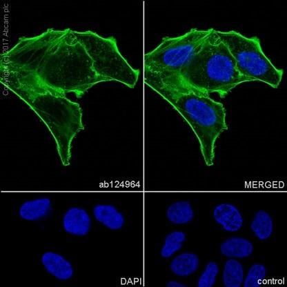 Immunocytochemistry - Anti-alpha smooth muscle Actin antibody [EPR5368] - BSA and Azide free (ab220795)