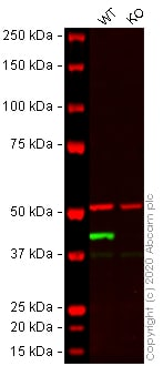 Western blot - Anti-alpha smooth muscle Actin antibody [EPR5368] - BSA and Azide free (ab220795)