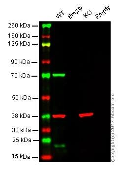 Western blot - Anti-Lamin B1 antibody [EPR8985(B)] - BSA and Azide free (ab220797)