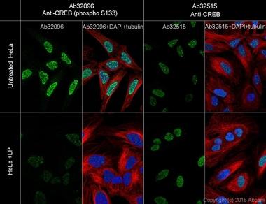 Immunocytochemistry/ Immunofluorescence - Anti-CREB (phospho S133) antibody [E113] - BSA and Azide free (ab220798)