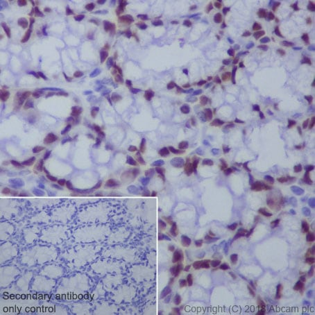 Immunohistochemistry (Formalin/PFA-fixed paraffin-embedded sections) - Anti-CDX2 antibody [EPR2764Y] - BSA and Azide free (ab220799)