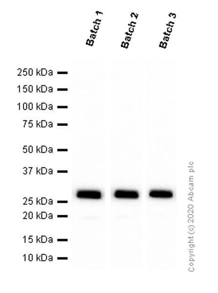 Western blot - Anti-GFP antibody [EPR14104] - BSA and Azide free (ab220802)