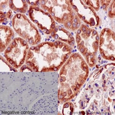 Immunohistochemistry (Formalin/PFA-fixed paraffin-embedded sections) - Anti-alpha Tubulin antibody [EPR13478(B)] - BSA and Azide free (ab220805)