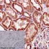 Immunohistochemistry (Formalin/PFA-fixed paraffin-embedded sections) - Anti-alpha Tubulin antibody [EPR13478(B)] - BSA and Azide free (ab220805)