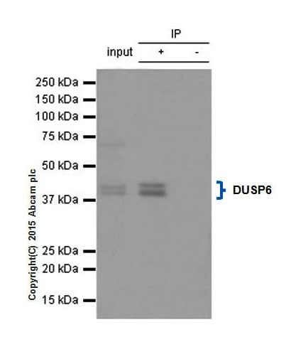 Immunoprecipitation - Anti-DUSP6 antibody [EPR129Y] - BSA and Azide free (ab220811)