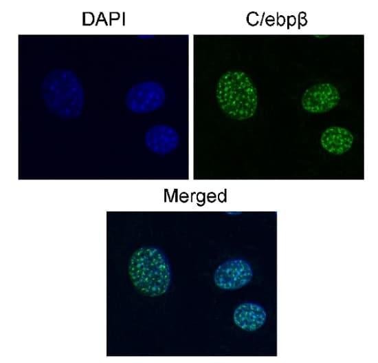 Immunocytochemistry/ Immunofluorescence - Anti-CEBP Beta antibody [E299] - BSA and Azide free (ab220813)