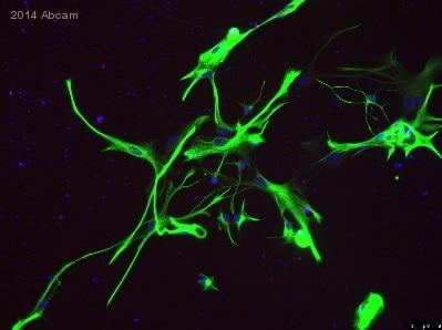 Immunocytochemistry/ Immunofluorescence - Anti-GFAP antibody [EP672Y] - BSA and Azide free (ab220820)