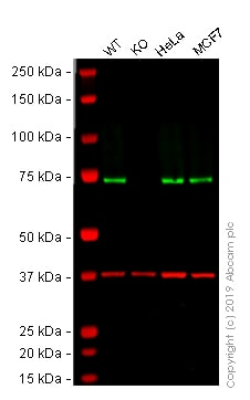 Western blot - Anti-Hsc70 antibody [EP1531Y] - BSA and Azide free (ab220821)