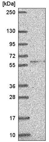 Western blot - Anti-HUCE1 antibody (ab220906)